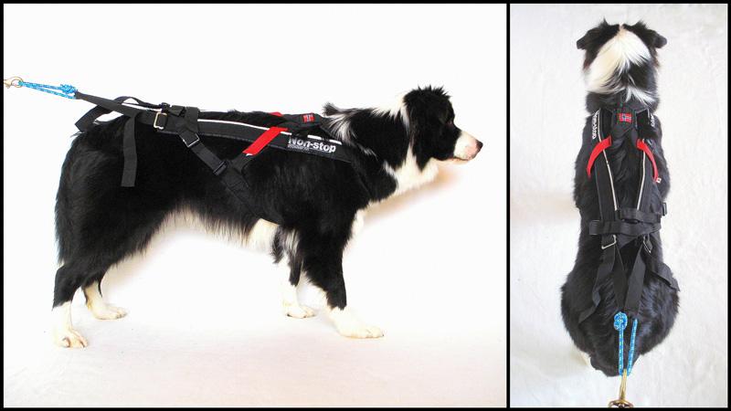 Impostazione della pettorina per dog scootering, mushing